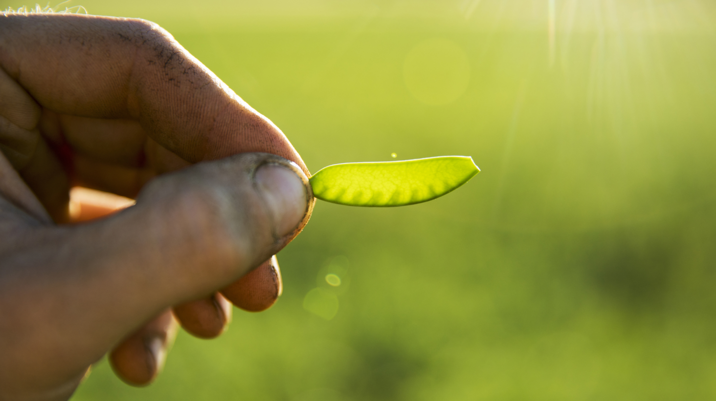 Nu kommer Änglamarks ärtpuckar – svenska, KRAV-odlade och veganska