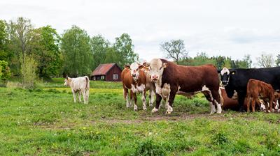 Coop och HKScan satsar på unga nötköttsproducenter
